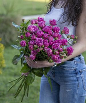 Փնջային վարդեր «Նյուարկ» մանուշակագույն