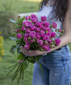 Spray roses «Newark» purple