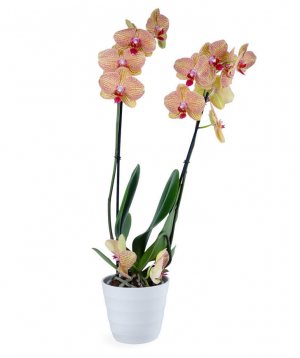 Plant `Orchid Gallery`  Orchid №1