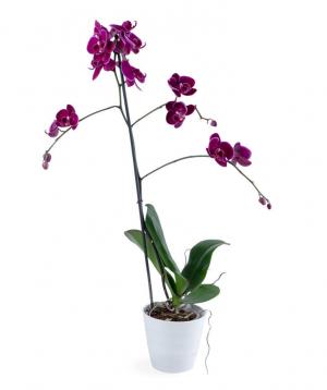 Խոլորձ (Օրխիդ) «Orchid Gallery» №2