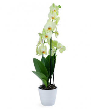 Plant `Orchid Gallery` Orchid №17