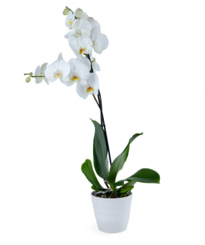 Plant `Orchid Gallery` Orchid №3