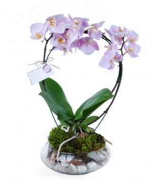 Կոմպոզիցիա «Orchid Gallery» խոլորձներով (օրխիդներով) №1