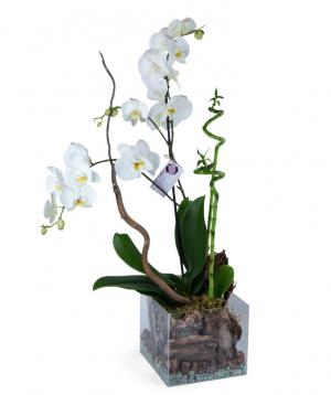 Կոմպոզիցիա «Orchid Gallery» Խոլորձներով և երջանկության բամբուկով