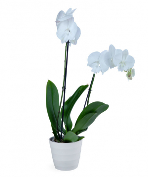 Plant `Orchid Gallery` Orchid №18