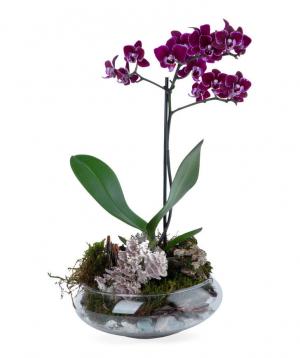 Բույս «Orchid Gallery» Խոլորձ, մանուշակագույն