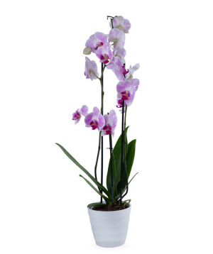 Plant `Orchid Gallery` Orchid, with 3 stems