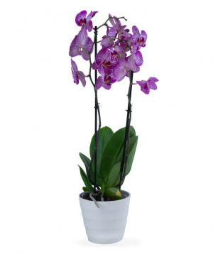 Plant `Orchid Gallery` Orchid, with 2 stems