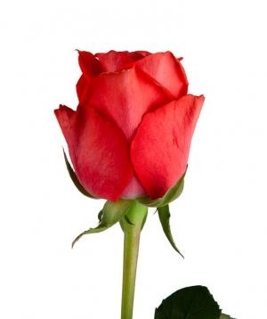 Վարդ «Oww» կորալ