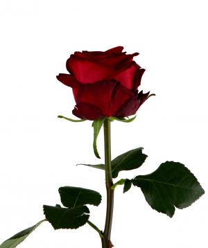Գյումրվա վարդ «Red Naomi» կարմիր