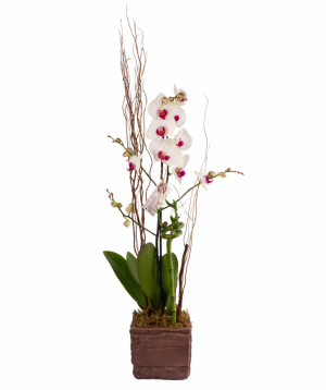 Plant `Orchid Gallery` Orchid №5