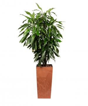 """Plant """"Grig Garden"""" Dracaena №2"""
