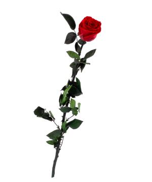 "Rose ""EM Flowers"" eternal red 50 cm"