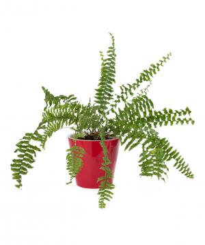 Plant `Eco Garden` Dicksonia №1