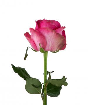Վարդ «Candy avalanche» վարդագույն