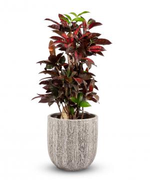 Plant `Grig Garden` Codiaeum