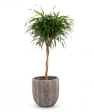 """Plant """"Grig Garden"""" Dracaena №1"""