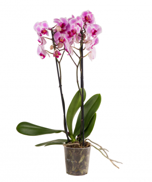 Plant `Orchid Gallery` Orchid №16