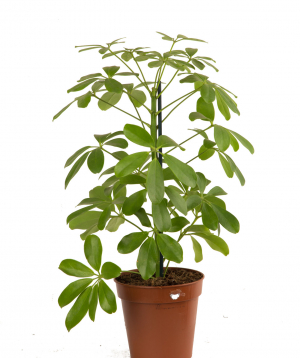 Plant `Orchid Gallery` Sheflera №2