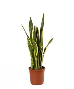 Plant `Orchid Gallery` Sansevieria (laurentii)