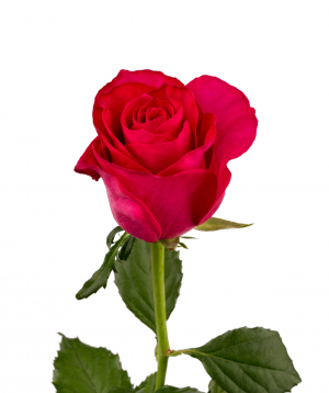 Rose `Attraction` pink