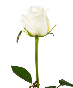 Գյումրվա վարդ «Dolomiti» սպիտակ