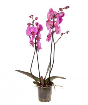 Բույս «Orchid Gallery» Խոլորձ (Օրխիդ) №21