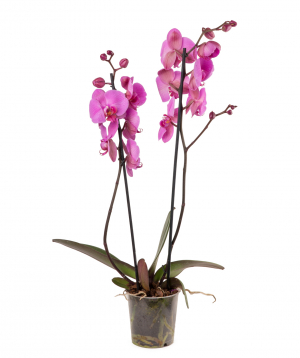 Plant `Orchid Gallery` Orchid №21