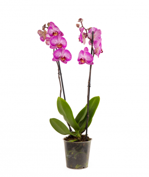 Plant `Orchid Gallery` Orchid №20