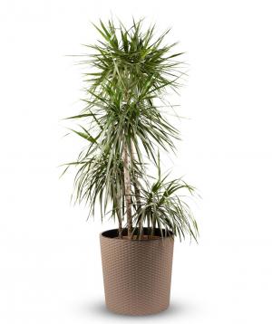 """Plant """"Grig Garden"""" Dracaena №3"""