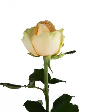 Gyumri rose «Peach Avalanche» white
