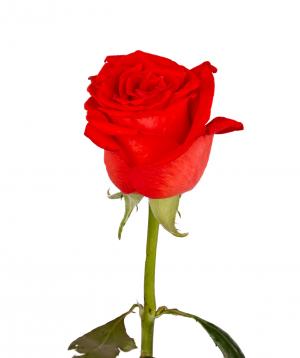Վարդ «Ashram» կորալ