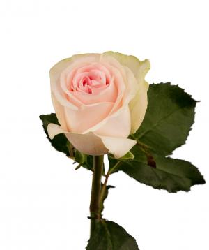 Rose `Revival sweet` light pink