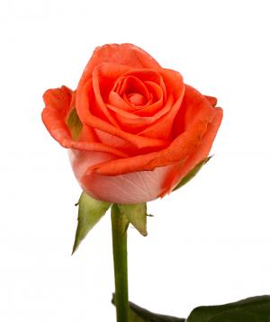 Rose `Giardinia` orange