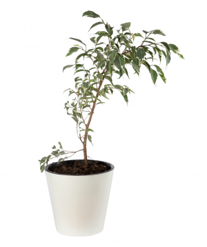 Plant `Eco Garden` Ficus Benjamin №1