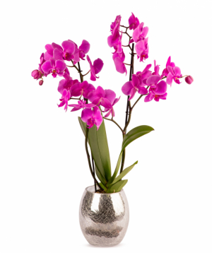 Plant `Orchid Gallery` Orchid №14
