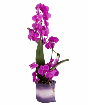 Plant `Orchid Gallery` Orchid №7