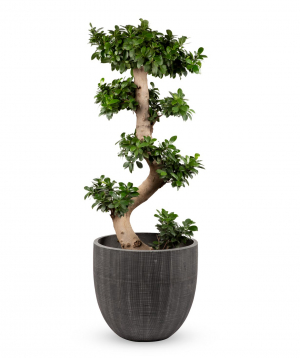 Plant `Grig Garden` Bonsai