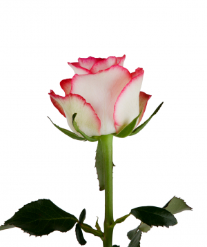 Rose «Jumilia» pink