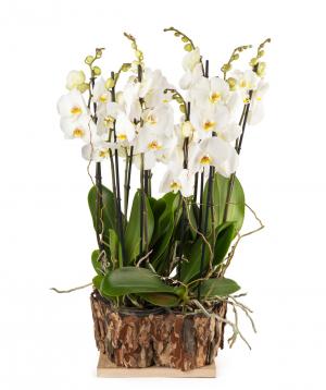 Կոմպոզիցիա «Orchid Gallery» խոլորձներով №2