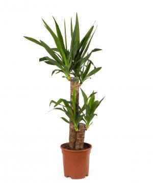 Բույս «Orchid Gallery» Արմավենի (Յուկկա)