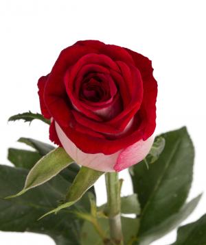 Վարդ «Luxor» կարմիր