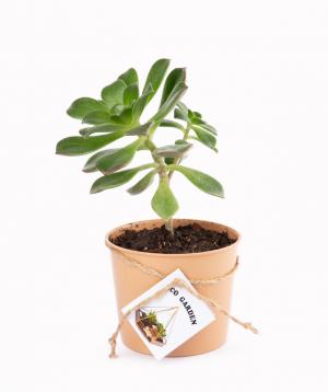Բույս «Eco Garden» Բեգոնիա №1