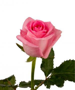 Rose `Revival` light pink