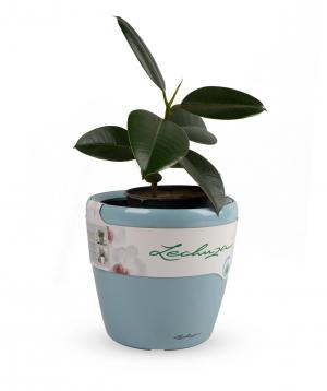 """Plant """"Grig Garden"""" Ficus"""