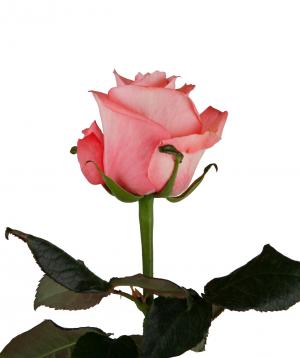 Rose «Anna Karina» pink
