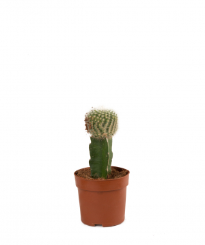 Plant `Orchid Gallery` Cactus, vaccinated №17