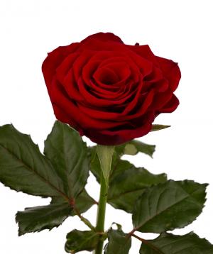 """Rose """"Prestige"""" red"""