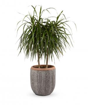 """Plant """"Grig Garden"""" Dracaena marginata"""