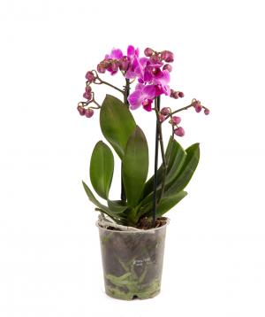 Բույս «Orchid Gallery» Խոլորձ (Օրխիդ) №22